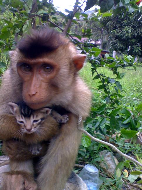 Pig Tailed Macaque getting a little too friendly with a kitten ...